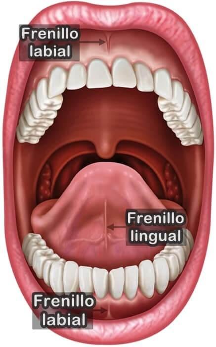 frenillo labial y frenillo lingual